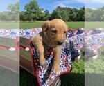 Puppy 3 Goldendoodle-Labrador Retriever Mix