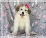 Small #1 Great Pyrenees