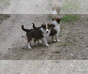 Old-Time Farm Shepherd Puppy for Sale in PARIS, Michigan USA