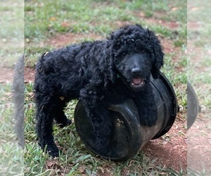 Labradoodle Dog for Adoption in CENTRAL, South Carolina USA