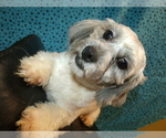 Small #5 Shih-Poo Mix