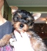 Yorkshire Terrier Puppy For Sale in MARIETTA, GA