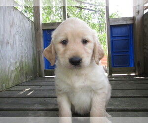 Golden Retriever Puppy for sale in HUDSON, MI, USA
