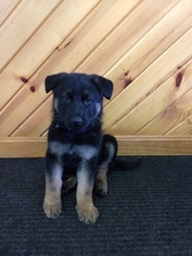 German Shepherd Dog Puppy For Sale in MILLERSBURG, OH, USA