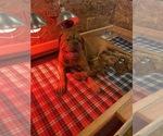 Puppy 8 Dogue de Bordeaux