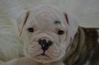 Valley Bulldog Puppy For Sale in CAULFIELD, MO, USA
