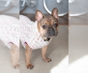 Mother of the French Bulldog puppies born on 07/22/2020