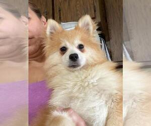 Pomeranian-Pomsky Mix Puppy for sale in BOSTON, MA, USA