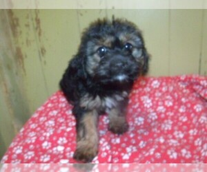 King Charles Yorkie Puppy for sale in PATERSON, NJ, USA