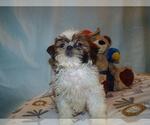 Puppy 8 Shih Tzu