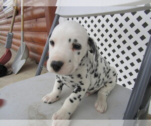 Dalmatian Puppy for sale in FORT WAYNE, IN, USA