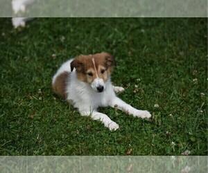 Collie Puppy for Sale in PARIS, Michigan USA