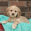 Cocker Spaniel Puppy For Sale in GAP, PA,