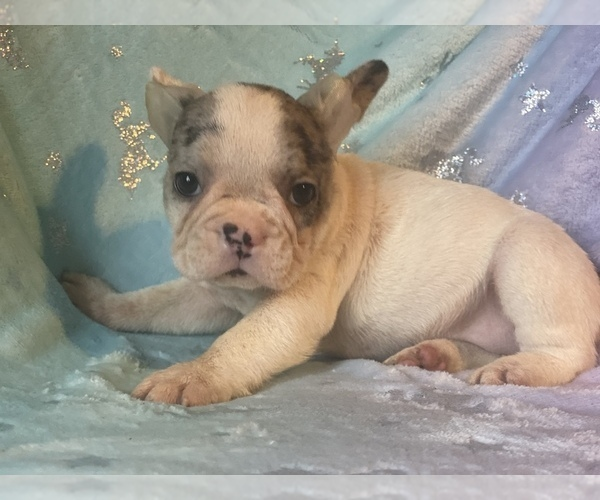 Medium Photo #2 French Bulldog Puppy For Sale in HAMDEN, CT, USA