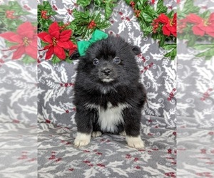 Pomeranian Puppy for sale in PEACH BOTTOM, PA, USA