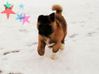 Akita Puppy For Sale in LENA, Wisconsin,