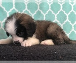 Small #6 Saint Bernard