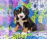 Small #4 Greater Swiss Mountain Dog