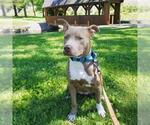 Small #172 American Staffordshire Terrier Mix