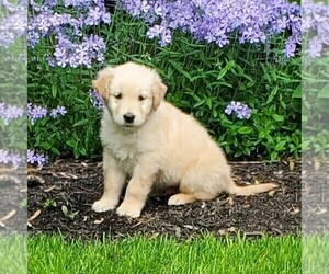 Golden Retriever Puppy for sale in PARKESBURG, PA, USA
