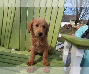 Labradoodle Puppy for sale in TRAVERSE CITY, MI, USA