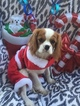 Cavalier King Charles Spaniel Puppy For Sale in FALLBROOK, California,