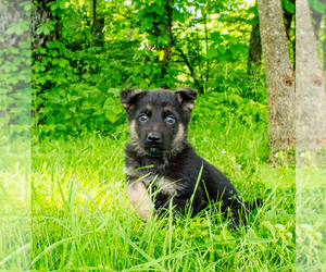 German Shepherd Dog Puppy for sale in LAKEVILLE, OH, USA