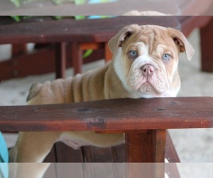 English Bulldog Puppy for Sale in GRAVOIS MILLS, Missouri USA