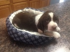 English Springer Spaniel Puppy For Sale in UTICA, KY, USA