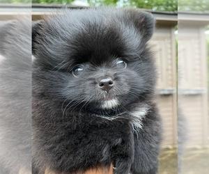 Pomeranian Puppy for Sale in ADA, Oklahoma USA
