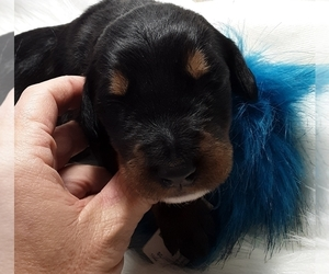 Doodleman Pinscher Puppy for Sale in SUNRISE BEACH, Missouri USA