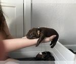Small #6 Labrador Retriever