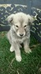 Alaskan Malamute-Great Pyrenees Mix Puppy For Sale in ALBUQUERQUE, NM, USA