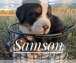Small #6 Bernese Mountain Dog