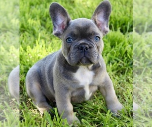 French Bulldog Puppy for sale in MEDFORD, OR, USA