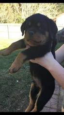 Rottweiler Puppy For Sale in GAINESVILLE, FL