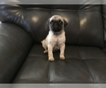 Pug Puppy For Sale in FRANKTON, IN, USA