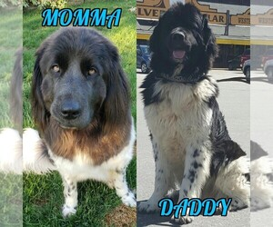 Newfoundland Dog for Adoption in FINLEY, Washington USA