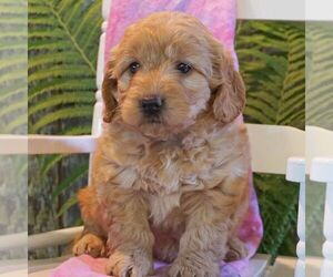 Goldendoodle-Poodle (Miniature) Mix Puppy for sale in THORP, WI, USA