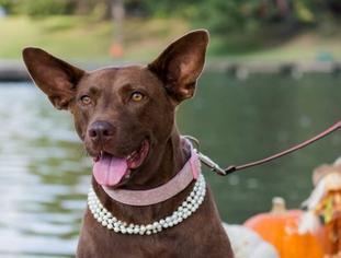 Mama Heart - Shepherd / Labrador Retriever / Mixed Dog For Adoption