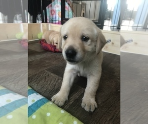 Golden Labrador Puppy for Sale in ESTERO, Florida USA