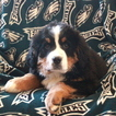Bernese Mountain Dog Puppy For Sale in GAP, Pennsylvania,
