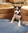 Siberian Husky Puppy For Sale in ARTHUR, IL, USA