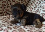 Yorkshire Terrier Puppy For Sale in SAN ANTONIO, TX, USA