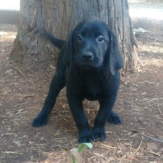 Labrador Retriever Puppy For Sale in MAGALIA, CA, USA