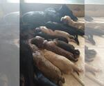 Small #4 Black Mouth Cur-Labrador Retriever Mix