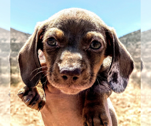 Dachshund Puppy for sale in SANTA CLARITA, CA, USA
