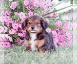 Small #4 Bernese Mountain Dog-Poodle (Toy) Mix
