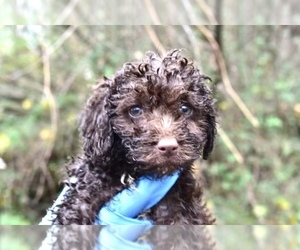 Poodle (Miniature)-Schnoodle (Miniature) Mix Puppy for sale in RIVERDALE, MD, USA