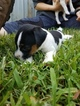 Jack Russell Terrier Puppy For Sale in FAIRMOUNT, GA,